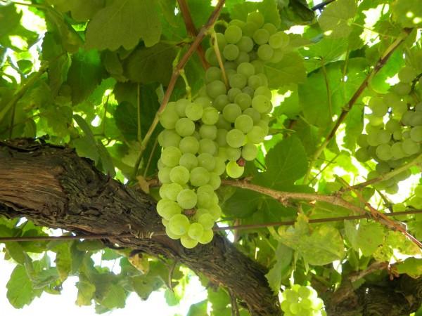 Albariño, distintas caras de una uva 10