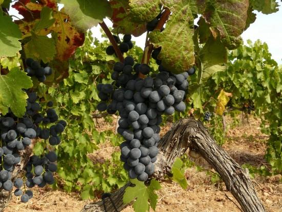 Uvas internacionales en el viñedo español: bendita diversidad