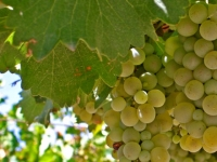 Uvas aromáticas en el viñedo español