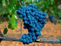 Prieto Picudo: la uva leonesa que pide paso