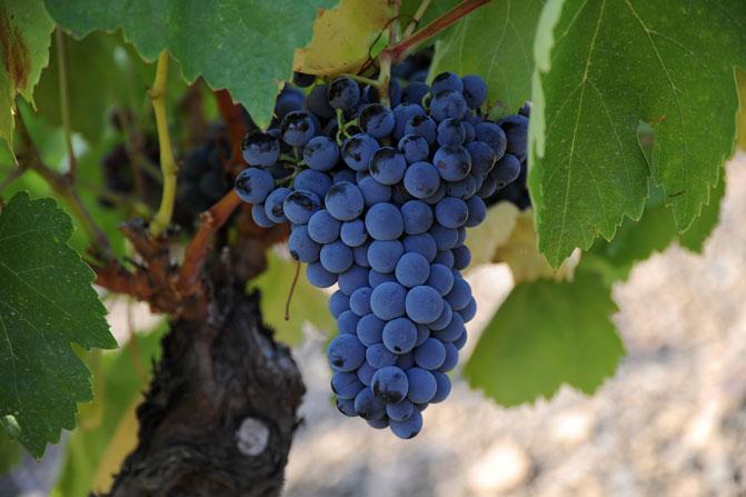 Garnacha: la uva que salió del letargo para triunfar