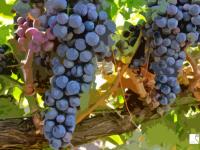 ¿Cuánto sabes sobre nuestra uva más prestigiosa?  Claves para conocer la uva tempranillo